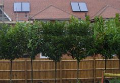 English Laurel - great screen for privacy