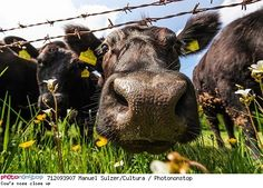 Cow's nose close up - Vache gros plan Cow Nose, Cattle, Horses, Animals, Up, Friends, Unusual Animals, Funny Animals, Cow
