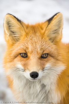 Red fox portrait Red Fox in Alaska's Arctic, Atigun pass, Brooks range