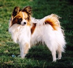 I want a Papillion. The Papillon is a small, friendly, elegant toy dog with a fine boned structure. He is light and dainty, yet still lively, and is distinguished from other breeds by his beautiful, butterfly-like ears. They are known to be happy and alert little dogs that are not shy or aggressive.