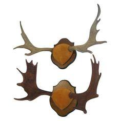 Two Trophy Nova Scotia Moose Antlers