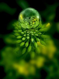 **green flower buds reflected in a drop of dew
