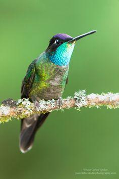 Magnificent Hummingbird. Eugenes fulgens. Dota Costa Rica. Para ver en HD www.juancarlosvindasphotography.com