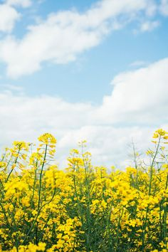 Rapeseed Field Against Blue Sky With Clouds by Borislav Zhuykov - Canola, Rapeseed - Stocksy United Landscaping On A Hill, Modern Landscaping, Landscaping Ideas, Beautiful Photos Of Nature, Nature Photos, Canola Flower, Rapeseed Field, Canola Field, Yellow Wildflowers