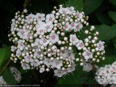 Spiraea fritschiana floraison printemps  1-1,20 m