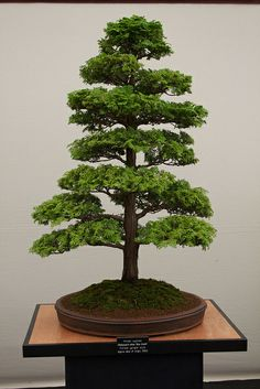 JPB:IMG_2834 | Flickr - Photo Sharing! Bonsai Seeds, Tree Seeds, Indoor Bonsai, Bonsai Plants, Terrarium, Mini Plants, Miniature Trees, Growing Tree, Organic Vegetables