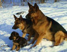 German Shepherd Puppies - 53 Pictures