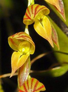 Pleurothallis species -