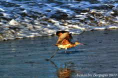 Curlew (Numenius) – Chiurlo – Big Sur - California - U.S.A- / by Alessandro Borgogno