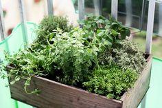 """""""Un sympathique petit bac d'herbes aromatiques Photo prise par Suzette"""" Herbes aromatiques : faites-vous ces 12 erreurs ?"""