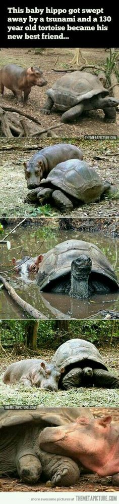 Dawww....hippo finds friend in elderly tortoise [Tartarugas]