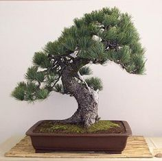 bonsái pino