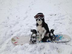 snow dog!  #dogs #winter #adorable #snowboard #gogglevision