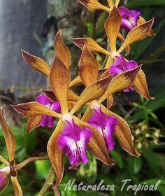 Flores de la orquídea Encyclia plicata