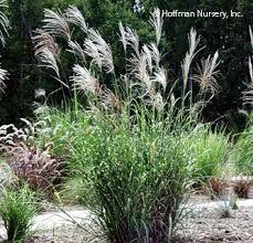 Image result for zebra grass