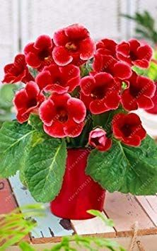 100 pcs/bag rare real gloxinia seeds, beautiful bonsai sinningia gloxinia flower seeds potted gloxinia plant for home garden Flower Pots, House Plants, Amazing Flowers, African Violets Plants, Flowers, Pretty Flowers, Seed Pots, Flower Seeds, Planting Flowers