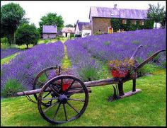 Lovely Lavender, oh my!  we have a lavender farm here  in Kansas