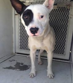 ***SUPER SUPER URGENT!!!*** - PLEASE SAVE JD!! - EU DATE: 6/8/2015 -- J.D. (05052015m-D01) Breed:Staffordshire Bull Terrier (mix breed) Age: Young adult Gender: Male Size: Large Special needs: hasShots, Shelter Information: Delano Animal Shelter 1525 Mettler Avenue Delano, CA Shelter dog ID: 05052015M-D01 Contacts: Phone: 661-721-3377 Name: Delano Animal Control email: SHELTER661@GMAIL.COM Read more at http://www.dogsindanger.com/dog/1430930810031#DZdS63TIi5z8tKM0.99