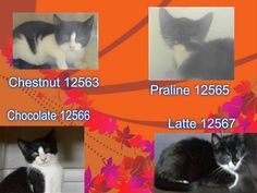 THE B&W KITTENS - 12563,  12565,  12566,  12567 - - Brooklyn  *** TO BE DESTROYED 11/20/17 *** FOUR adorable kittens are looking for a place to call home. Please consider fostering or adopting. All came in together, can be placed separately. CHOCOLATE is listed tonight. -  Click for info & Current Status: http://nyccats.urgentpodr.org/the-bw-kittens-12563-12565-12566-12567/