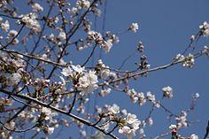 常盤中学校の桜 4/8(3分咲き)