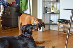 Boxer and Beauceron Boxer, Baron, Boxer Pants