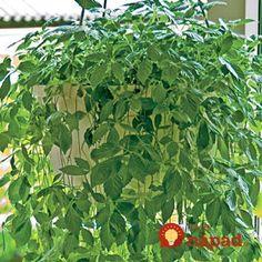 Volajú ju bylina nesmrteľnosti či elixír života: Najliečivejšia rastlina na svete, máte ju doma aj vy? Herbs, Gardening, Plants, Lawn And Garden, Herb, Plant, Planets, Horticulture, Medicinal Plants