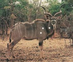Hunting and Photographic Safaris in Africa - Kudu Boar Hunting, Animal Species, Safari, Horses, Animals, Animales, Animaux, Animal, Animais
