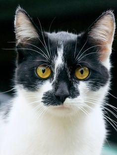"""mesmerize me"" ----- (by Balatucairus on deviantART).  What a great feline face!"