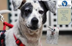 Snooki is an adoptable Terrier Dog in San Juan, PR. About Us: We're Save A Sato, an all volunteer, non-profit organization dedicated to easing the suffering of Puerto Rico's homeless and abused animal...