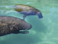 Manatees are a placental marine species. They are herbivores and spend time in shallow water. They measure between 3 and 6 m, and weigh between 300 and 500 kg. #XelHa