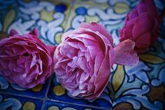 Roses on Moorish tiles, Seville