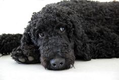 Fuzzy Face.. | sceptical facial expression... | rp-2009 | Flickr #Poodle
