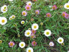 De langste bloeiers voor in de border | De Tuinen van Appeltern Clematis, Dream Garden, Geraniums, Plants, Dreams, Plant, Planets