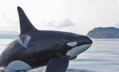 Huge Bull Orca