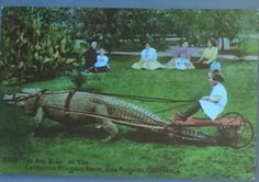 """The Joy Ride at the California Alligator Farm, Los Angeles."" What could possibly go wrong? Here's my current collection of vintage alligators and crocodiles, some crying real. Vintage Postcards, Vintage Photos, Vintage Photographs, Les Innocents, Joy Ride, 10 Picture, Illustrations, Old Photos, Cover Photos"