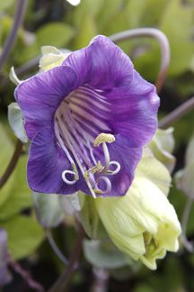 Cobaea scandens flower courtesy of: Annie's Annuals & Perennials