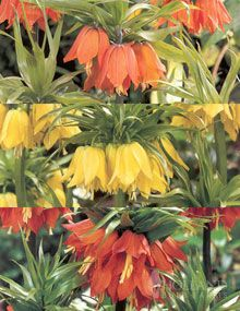 Fritillaria Bulbs Exposed Sites, tolerates exposed or windy sites.