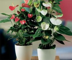 White and red Flamingo Flowers #plants
