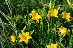 gelbe Taglilien *Garten-Liebe* Plants, Flora, Herbs