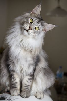 Goliath the Maine Coon by ~Rapunzinette