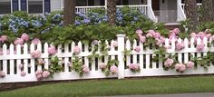 Hydrangeas peeking through the picket fence .....love!