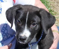 Meet Annie, an adoptable Labrador Retriever looking for a forever home. If you're looking for a new pet to adopt or want information on how to get involved with adoptable pets, Petfinder.com is a great resource.