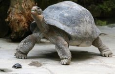 """Image: A weeks-old Galapagos Giant Tortoise crawls in front of its 70-year-old mother """"Nigrita"""" inside an enclosure at Zurich zoo (© ARND WIEGMANN//Reuters)"""