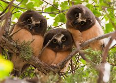 Three juvenile Saw Whet Owls in Oregon, USA