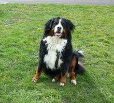 My Bernese Mountain dog Atara