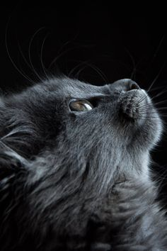 Free download of this photo: https://www.pexels.com/photo/photo-of-gray-cat-looking-up-against-black-background-730896/ #animal #pet #cute #CatPhotography