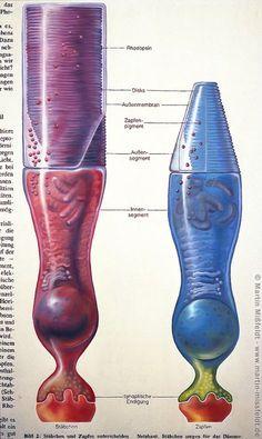Retina: rods and cone