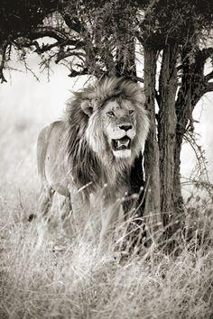 Jacek Bielarz Photography, Stuff To Buy, Animals, Lion, Photograph, Animales, Animaux, Fotografie, Photoshoot