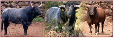 Ganaderías de Toros de Lidia, San Mateo, San Marcos y San Lucas. Historia, fotografías, videos, venta de ganado.
