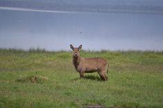 Waterbuck in Lake Nakuru National Park